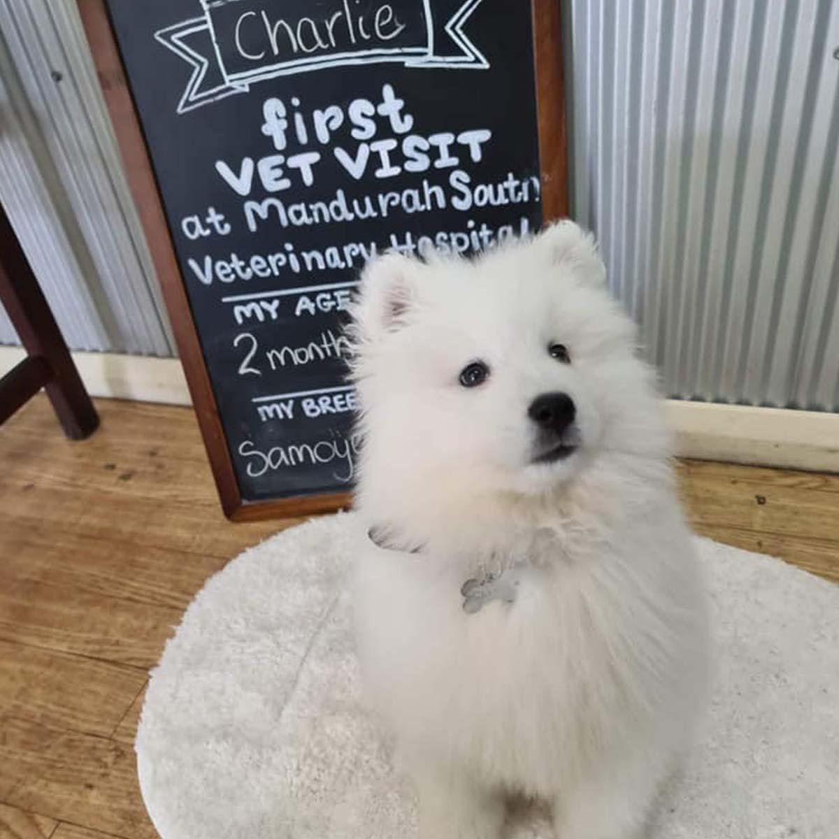 White Husky Charlie